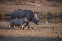 Mother & Child Rhino