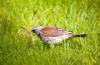 Fieldfare with prey