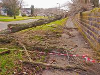 Last nights storm damage to trees in Worden Park
