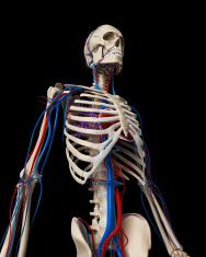 bones and blood vessels