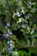 Close-up of Ripening Organic Blueberries on Bush