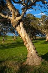 Tree on green pasture