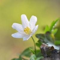Anemonoides nemorosa - Wood anemone