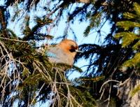 Jay on a fir-tree