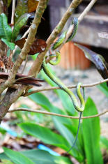 vine snake or whip snakes