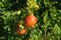 Granatapfel - Spanien