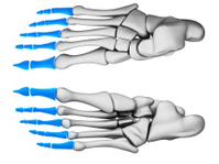 foot phalanges