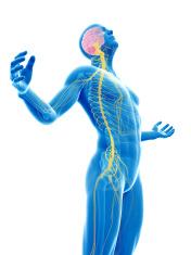 human nerves