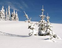 Three Alpine Trees Buried Under The Snow