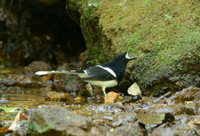 White-crowned Forktail (Enicurus leschenaulti)