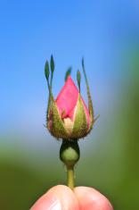 Rosebud Reaching for Sky