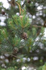 Fir cones growing on fir tree
