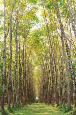 Para rubber tree plantation