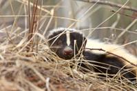 Young Skunk in the Grass Saskatchewan Canada