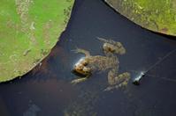 Indian Skipper Frog, Skittering Frog, Euphlyctis cyanophlyctis