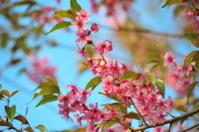 Blossoming of sakura in Thailand