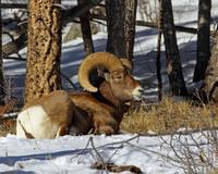 Big Horn Ram Lying Down-Horizontal Format