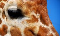 Pretty Giraffe Eye