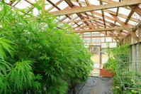 Marijuana ( cannabis),  growing hemp plant
