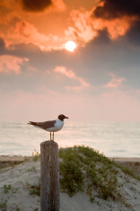 seagull on post at sunrise