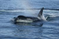killer whale and rainbow