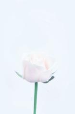 gentle rosebud