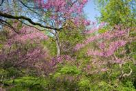 Flowers-Rosebud trees in bloom