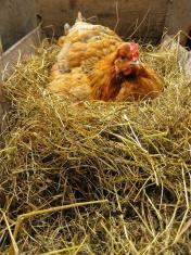 Chicken fowl nest