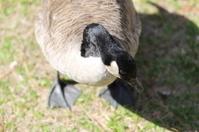 Shy Goose