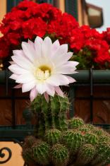trichocereus flower