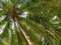 Coconut palm umbrella