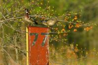 Wood Ducks on Nesting Box
