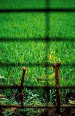 Field of Rice Crop