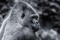 Gorilla in Black & White