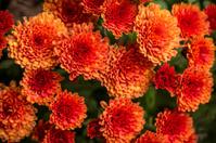 Orange Fall Mums