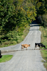 Holstein and Jersey cows crossing the road