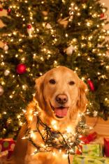 Golden Retriever Christmas