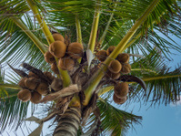 Fresh coconut on a palm