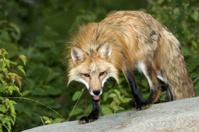 Fox-red