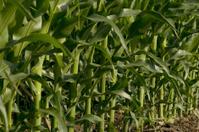 Corn field or alternative fuel?