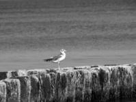 Seagull on a wooden breakwater