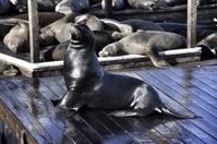 Seals San Francisco fishermans warf