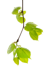 Spring branch of a lime tree on white