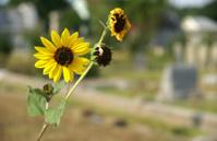 Cemetery sunflower