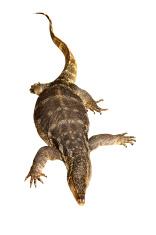 Thai monitor lizard