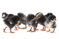 Group black baby chicken