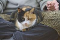 Calico Lap Cat