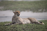 Adult Cheetah on Beach in Serengetti National Park