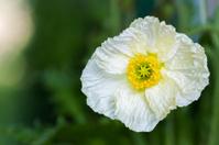 White Iceland poppy (Papaver nudicaule)