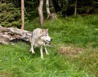 Wary Grey Wolf